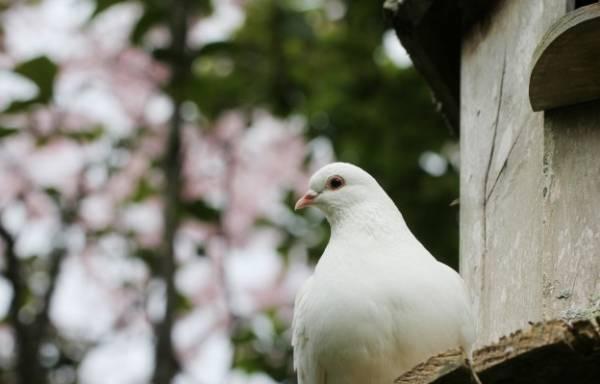 شنوایی کبوتر