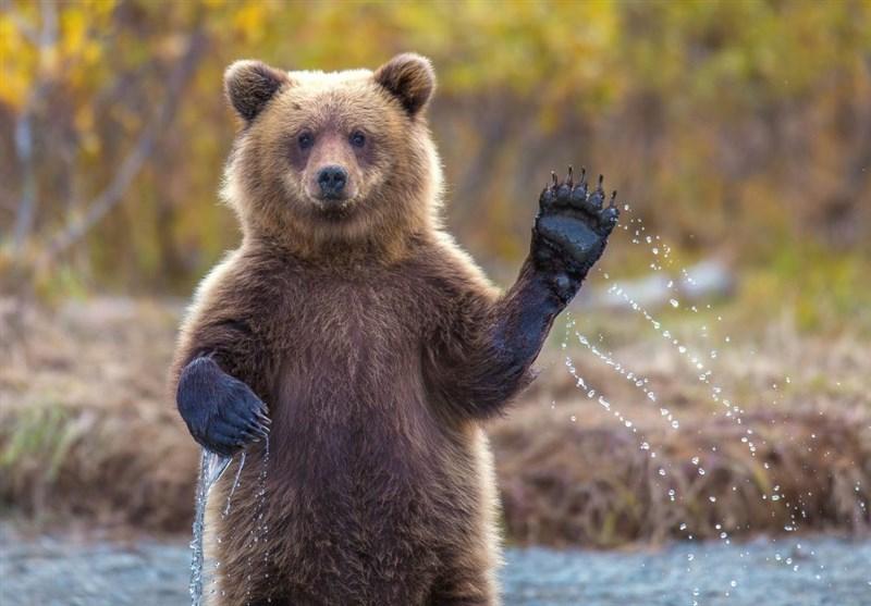 مشاهده ۳ خرس قهوهای در ارتفاعات دارآباد تهران! + فیلم