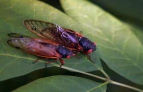حشرهای عجیب که هر۱۷ سال از زمین بیرون میآید!