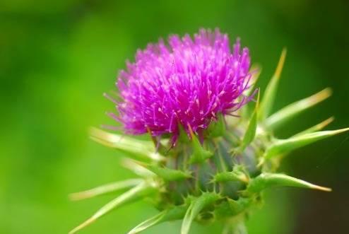 داروی گیاهی مطمئن برای تقویت کلیه ها و کبد
