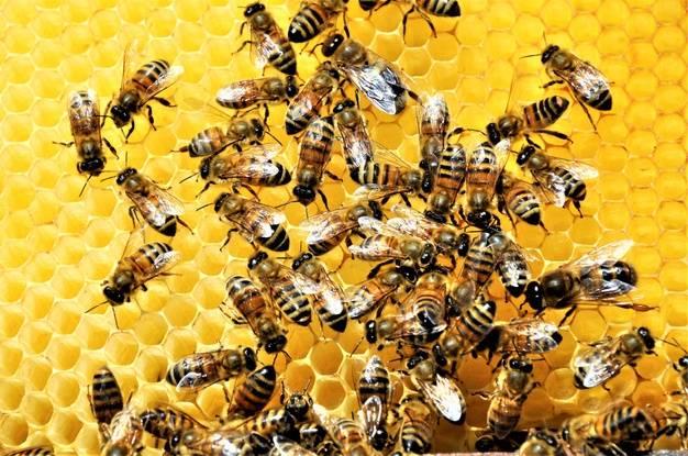فواید زنبور عسل