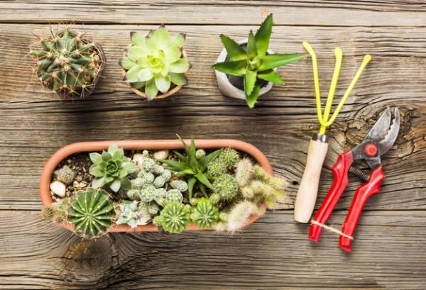 روش باغبان ها برای پیوند زدن کاکتوس