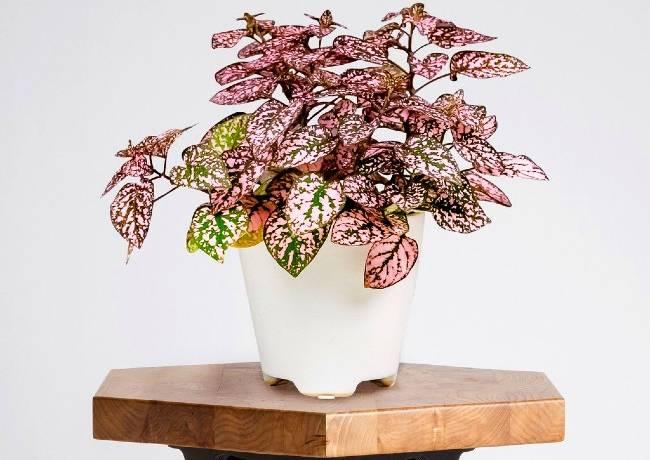 گیاهان برگ رنگی خوشگل برای خانه شما